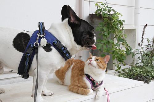 French Bulldog Chikuwa and the street cat