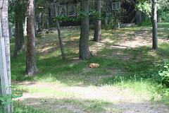 Chicken of the Woods - Wild Mushrooms
