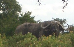 African Buffalo - Sweetwaters