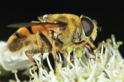 Myathropa florea 9060
