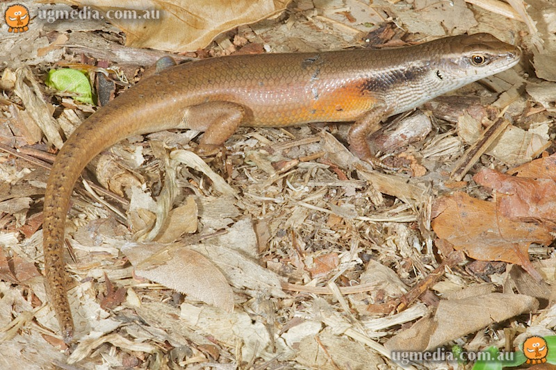 Closed-litter rainbow-skink (Carlia longipes)
