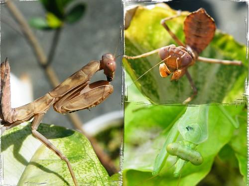 圖一:前看、側看、俯看,怎麼「眼珠」老是對著鏡頭?圖中為寬腹螳螂若蟲。攝影:李鍾旻