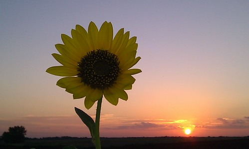 Not all sunflowers face the sun.