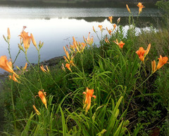 Daylilies and River by randubnick