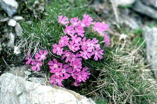 Silene acaulis ssp. longiscapa Vierh.