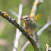 Common Yellowthroat (Geothlypis trichas )