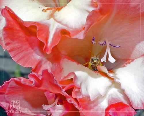 Gladiolus Haven