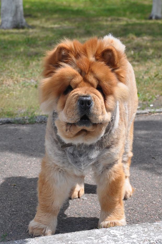 чао-чао собака цена украина фото