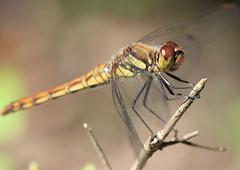 Dragonfly / 蜻蛉(とんぼ)