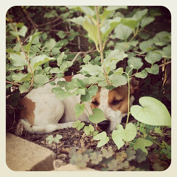 Lilac bush = dog secret lair. Pretty effective hiding place from the kids....