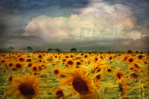 ~~~  sunflowers ~~~