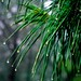 Waterdrops on Pines