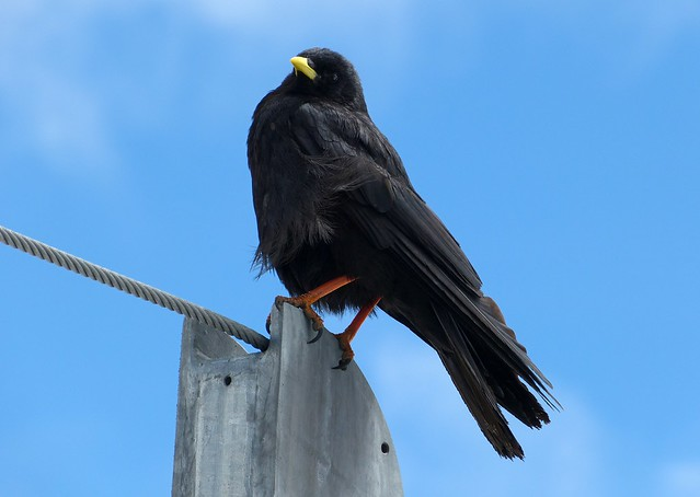 Alpine Chough, Switzerland