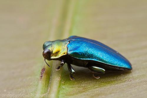 Buprestidae - Endelus sp. IMG_9587 copy