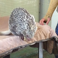 domesticated hedgehog(0.0), animal(1.0), hedgehog(1.0), erinaceidae(1.0), fauna(1.0),