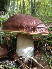 BOLETUS EDULIS (200 grs)
