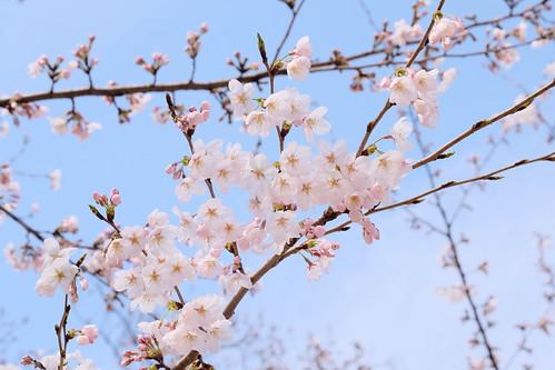 Sakura on a fine day