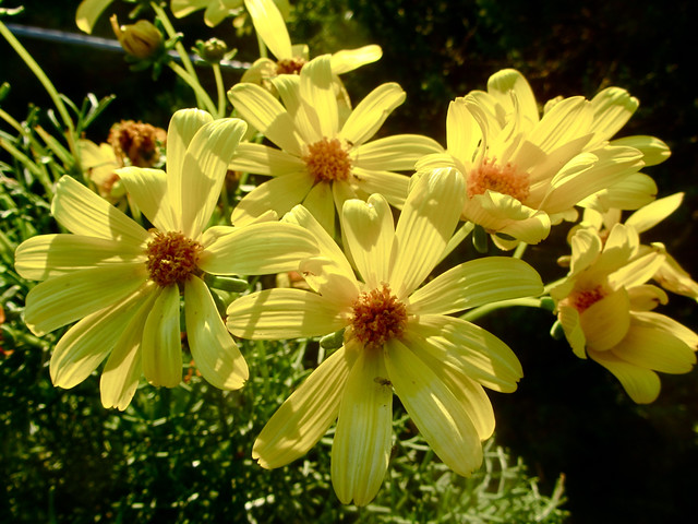 beautiful giant coreopsis