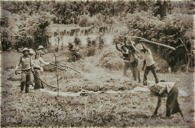 Threshing Rice/ La Trilla de Arroz - Indonesia - Analog Series