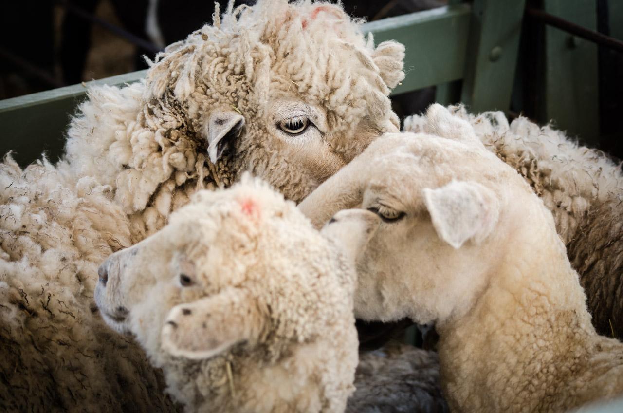 En el festival del Ovecha Rague pueden verse los mejores animales que proveen la materia prima para las artesanías basadas en lana de oveja. Habitualmente disponen una exposición de los mejores ejemplares para llamar la atención de ganaderos que buscan hacer negocio. (Elton Núñez)
