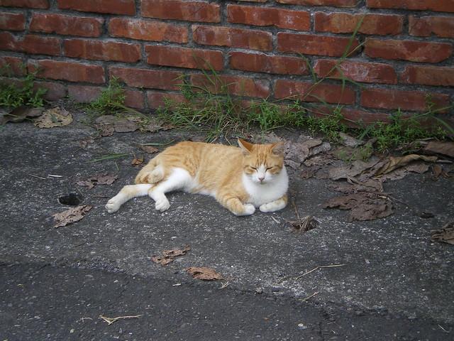 在老社區裡居住的貓