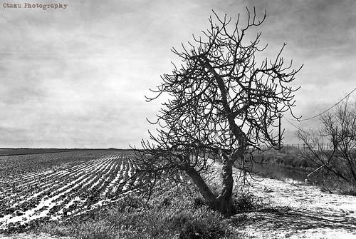 [ Higuera deshojada ] . [Parc natural del Delta de l'Ebre] by Otazu