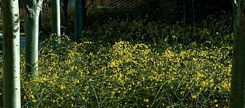 迎春 by clémence22