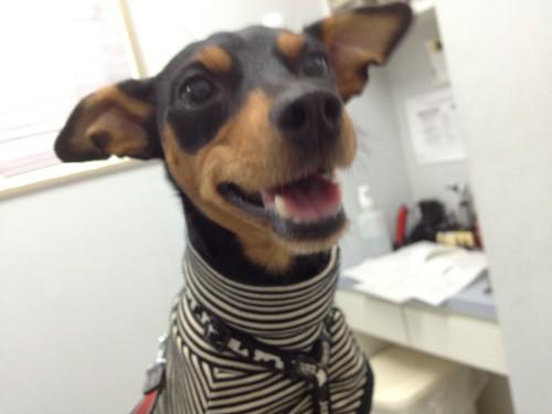 タカマ動物病院での黒犬。診療台に上がってもルンルンw
