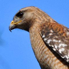 Red-Shouldered Hawk 12