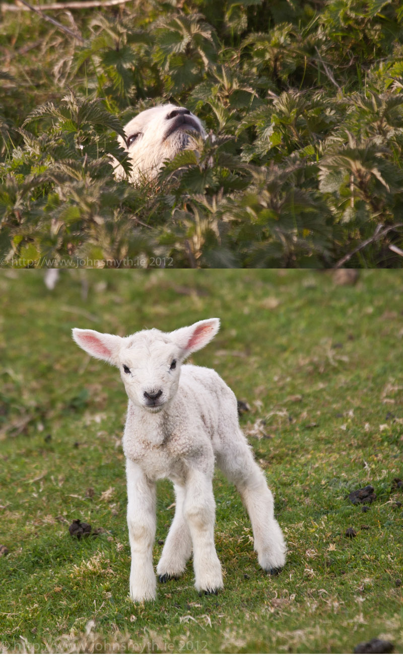 Trapped lamb