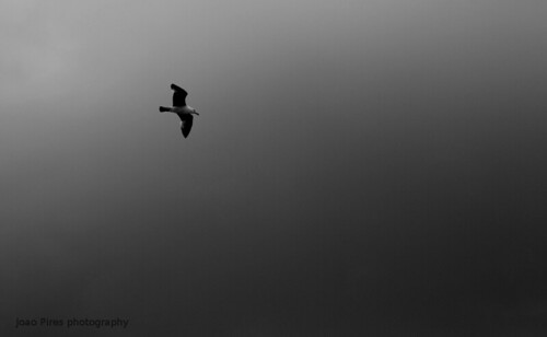 Gaivota Céu Cinzento Seagull Grey Sky Mouette