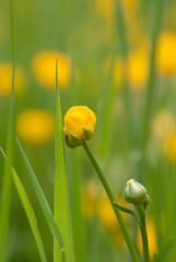 Boterbloemen / Buttercup flowers (Ranunculus)