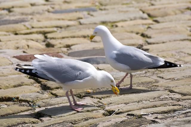 Herring Gulls (Larus argentatus) - Pair in Scarborough Harbour