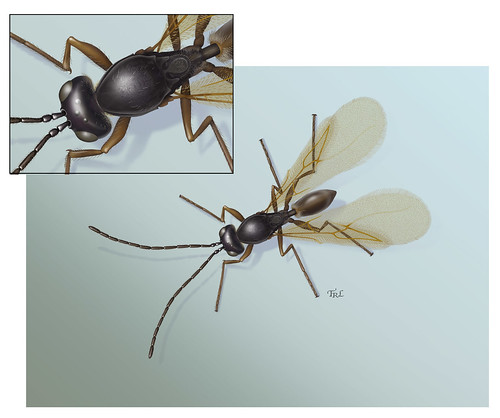 Painting by Taina Litwak of a new species of tiny parasitic wasp in the genus Perischus.  Done in 2011 for Dr. Matt Buffington.  The painting starts with a pencil drawing done through the microscope of a dead pinned specimen.  Details for this painting were included which only are visible in scanning electron microphotographs, as the species is so very small.  The painting itself is done digitally in Adobe Photoshop.  The species was first collected in South America in 2010 and is involved with parasitizing a species complex of flies which lay eggs in cucurbit plants (melon, cucumber and squash family).