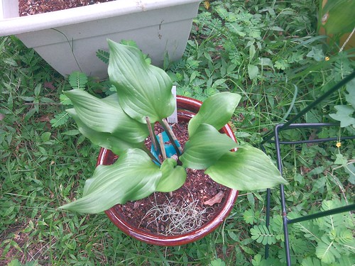 Hosta 'Stephen King'