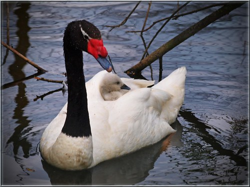 TAXI  -  Black-necked Swan