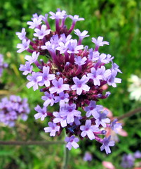 lilac(0.0), blossom(0.0), english lavender(0.0), hesperis matronalis(0.0), flower(1.0), plant(1.0), breckland thyme(1.0), lilac(1.0), herb(1.0), wildflower(1.0), flora(1.0),