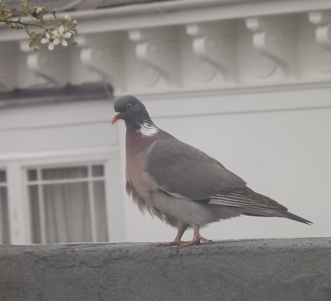 pretty_pigeon