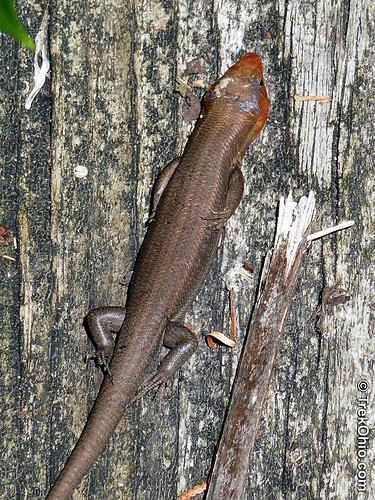 Five-lined Skink (Eumeces fasciatus)