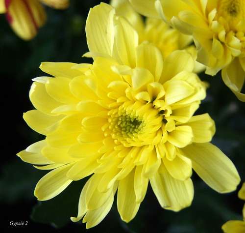 Chrysanthemum by gypsie2 ~
