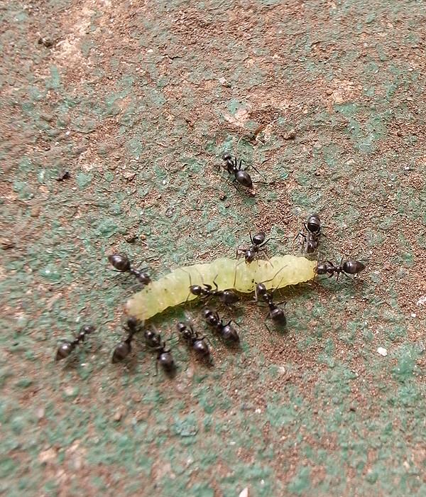 アリに襲われるアオムシ
