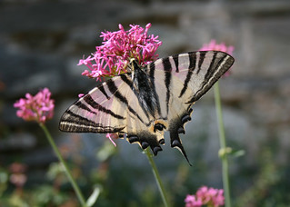 Greece, Peloponnese, Scarce Swallowtail, (Iphiclides Podalirius).
