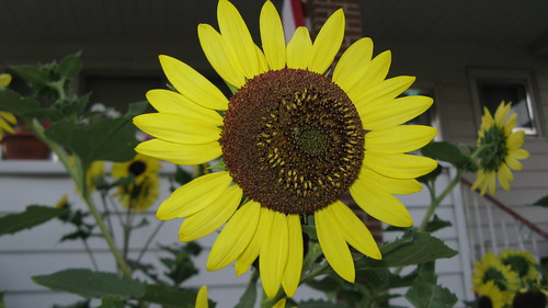 Beautiful Sunflower plants.  Elmwood Park Illinois. July 2012. by Eddie from Chicago