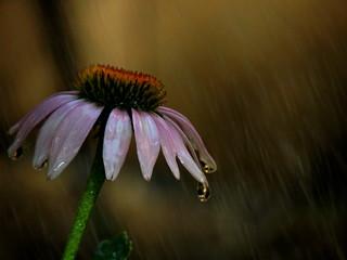 Watering - Pink ConeFlower