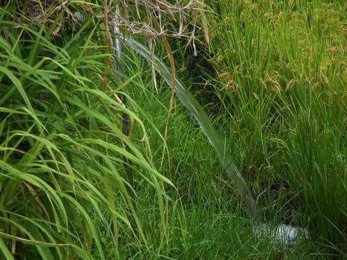 豐濱擁有豐富的水資源,挹注到田中可有效阻隔雜草。
