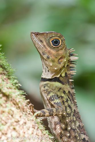 juvenile Gonocephalus liogaster IMG_7253 copy