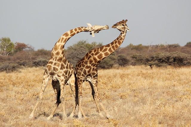 N. Laryngeus Recurrens Giraffe 7652597716_734a...