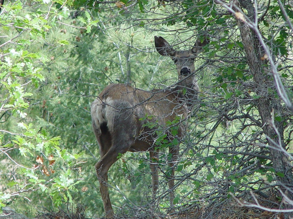 Mule deer on LANL property
