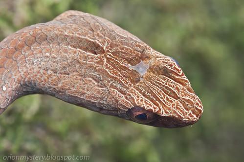 mock viper, Psammodynastes pulverulentus. IMG_8139 copy