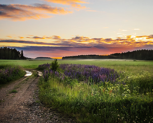 morning flowers light summer sky sun mist field fog clouds rural finland landscape rising colorful midsummer view purple lupine skandinavia longlight